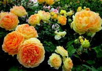Idealne róże do ogrodu